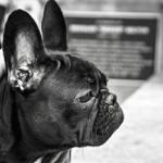 Nuevo requerimiento envíos de perros al Uruguay
