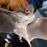 murciélagos con rabia